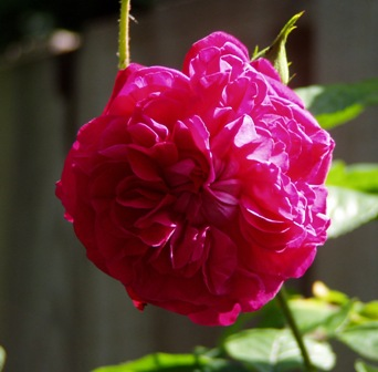 English rose in my garden, oh no actually it's a French one!