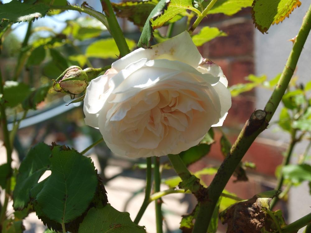 more Roses in June - Boule de Neige