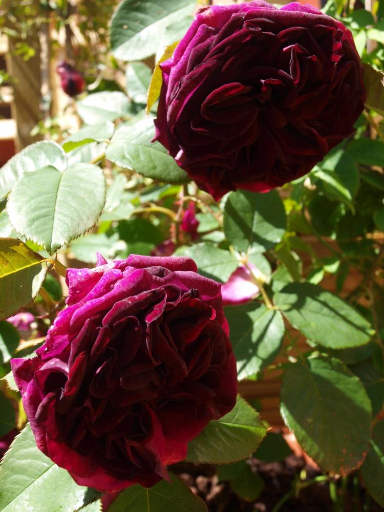 more Roses in June - Munstead Woods again